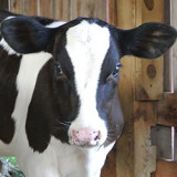 Radhika a rescued holstein heifer