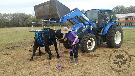 Asha lifted with a cow sling to give her legs a chance to revive,